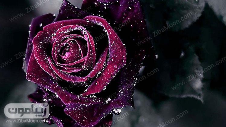 گل رز سرخ و سیاه