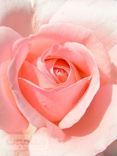 عکس بک گراند موبایل گل رز
