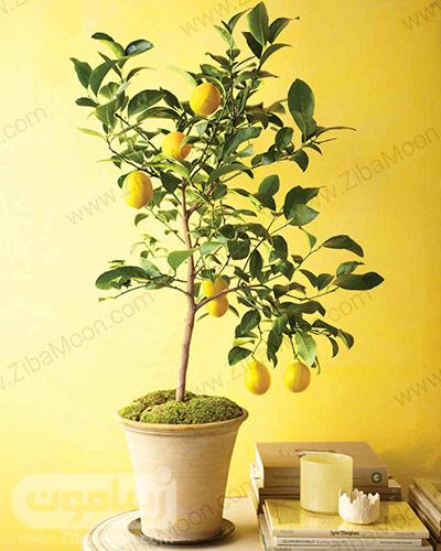 گلدان لیمو